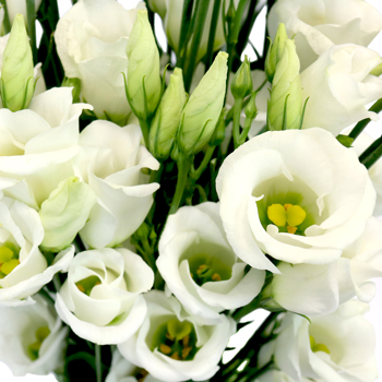 White Single Lisianthus Flower for October to May Delivery