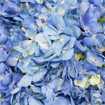 Shocking Blue Premium Hydrangea Flowers