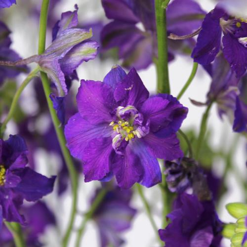 Larkspur Purple Flower
