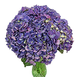 Purple Fresh Cut Hydrangea Flower