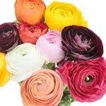 Fresh Ranunculus Farm Mix Flower