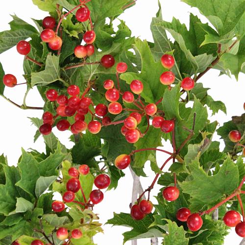 Viburnum Berries Wholesale Flowers