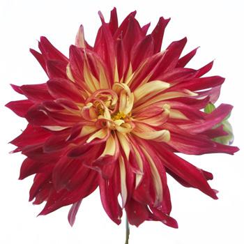Red Fire Dinner Plate Dahlia Flower
