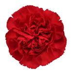 Red bulk wholesale Carnations