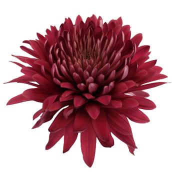 chrysanthemum-ის სურათის შედეგი