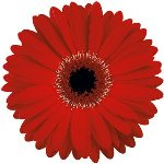 Bulk Red Gerber Flower