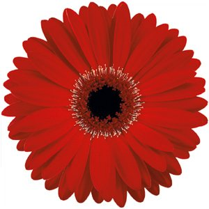 Red Gerbera Daisy Blooms