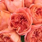 Garden Rose Rene Goscinny Orange Flower