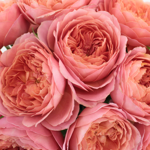 Cabbage Garden Rose Romantic Antique Pink