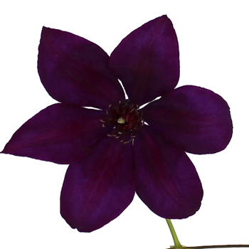 Royal Purple Clematis Flower