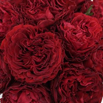 Garden Rose Red Velvet
