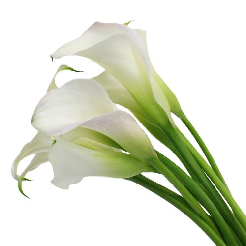 Blush Mini Calla Lily Flower