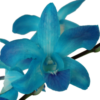 Enhanced Misteen Blue Loose Orchid Blooms