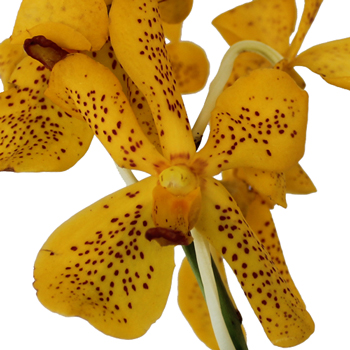 Speckled Sunrise Mokara Orchid