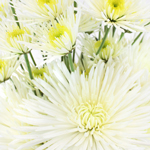 Mixed Color Bulk Daisy Flower