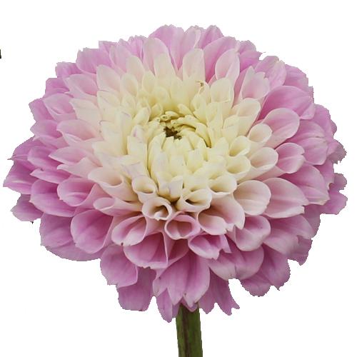 Spotlight Blush Dahlia Flower