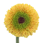 Gerrondo Daisies Yellow Bronze Flower