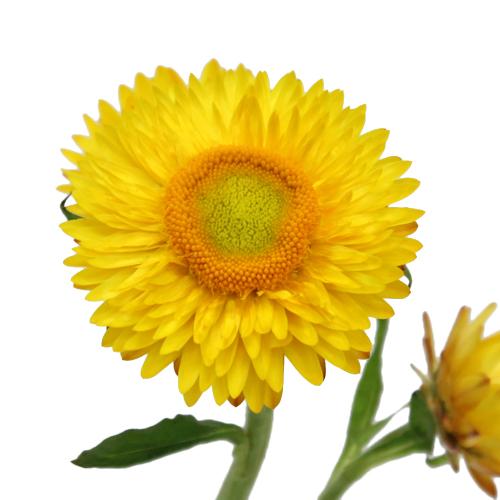 Fresh Cut Yellow Straw Flower