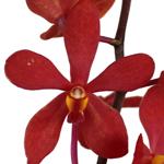 Fresh Cut Hot Pink Mokara Orchids