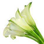 Mini Calla Lilies Ivory Mint Julip