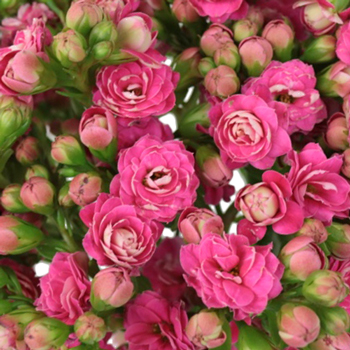 Candy Pink Bulk Kalanchoe Flowers