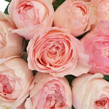 Blushing Delight Garden Rose