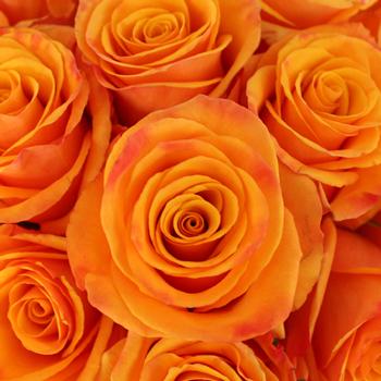 Tycoon Orange Rose