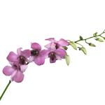 Fresh Cut Dendrobium Purple Chanel Blue Orchid Flowers Variety Channel Blue
