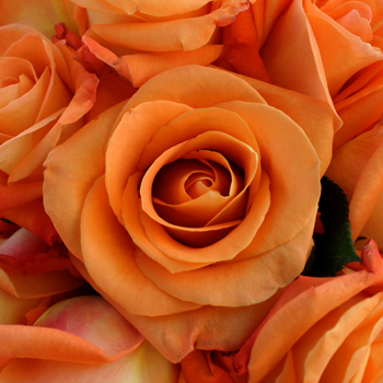 Voodoo Orange Rose