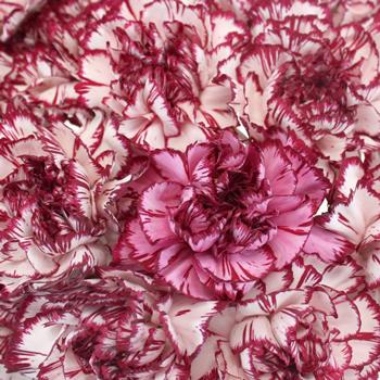 Rendezvous Carnation Flowers
