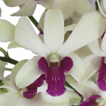 White and Purple Bicolor Dendrobium Orchids