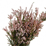 Heather Flower Calcynia