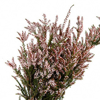Calycina Heather White Flower