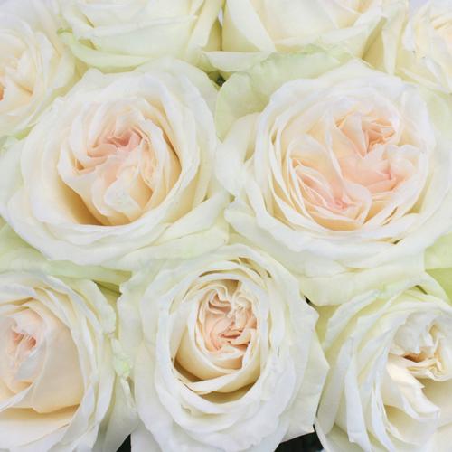 Garden Rose Creamy White Blush