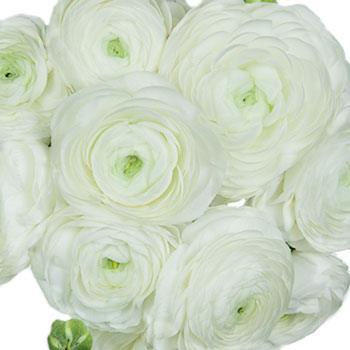 White Ranunculus Fresh Cut Flower