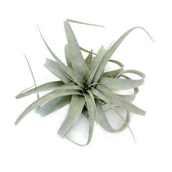 Xerographica Tillandsia Wedding Air Plants