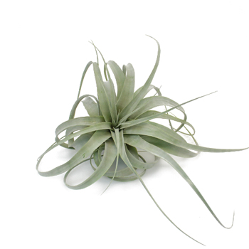 Extra Large Xerographica Tillandsia Wedding Air Plants