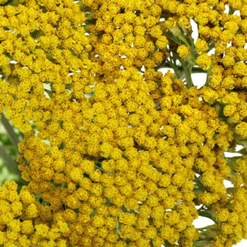 Yarrow Achillea Yellow Flower