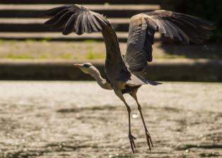 Bird, Bird beginning Flight, Grey Bird, Bird Flight, Bird watcher,