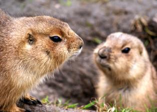 marmot, marmots, squirrels, animals, fur, nature, environment, grass