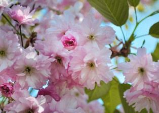 tree, trees, flowering tree, gardening, botany, plants, flowers, petals, leaves, stems, botany, branches