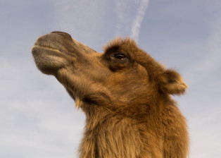camel, animal, eye, look, stare, sky, dessert, water, hump, mammal, fur