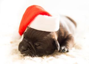 christmas cap, christmas hat, santa hat, christmas, dog, puppy, canine, paws, sleeping