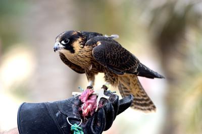 falconry, bird, eagle, animal, bokeh, glove, training, falconer, nature