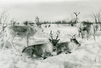 deers, reindeers, animals, snow, winter, nature, zoology, trees, old, photograph, antlers