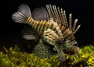 aquarium, corals, plankton, animal, fish, lionfish, zebrafish