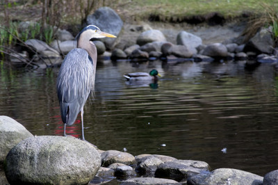 lake, water, duck, bird, birds, animals, swimming, rocks, stones, nature
