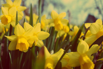 narcissus, daffodil, flowers, petals, stems, meadow, bokeh, botany, plants