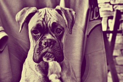 dog, canine, animal, breed, pet, boxer, old, vintage