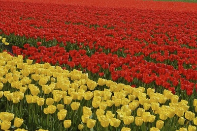 flowers, flora, plants, botany, nature, colorful, tulips, red, yellow, meadow, blossom